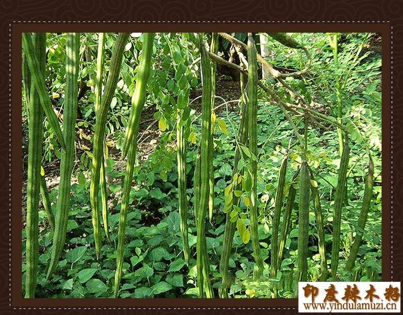 印度辣木籽